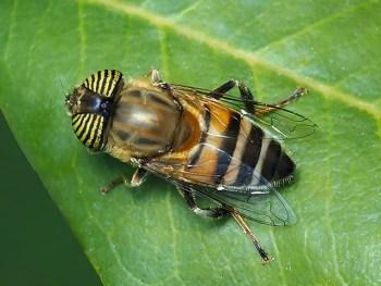 E.taeniops