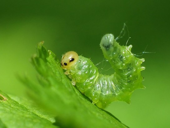 Nematus larva