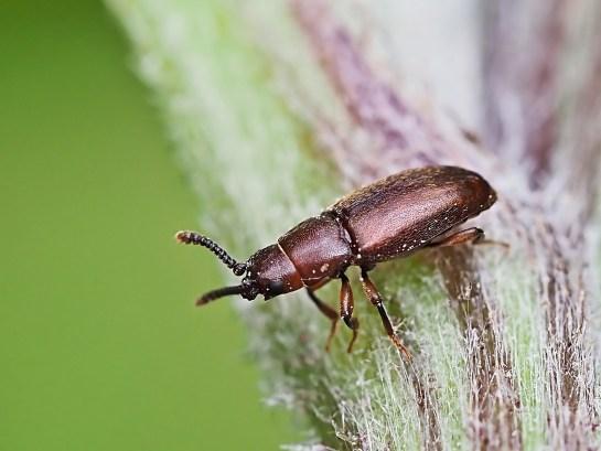 antherophagus species