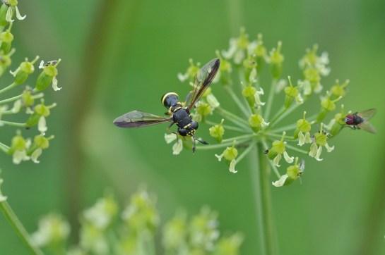 c.conopsoides