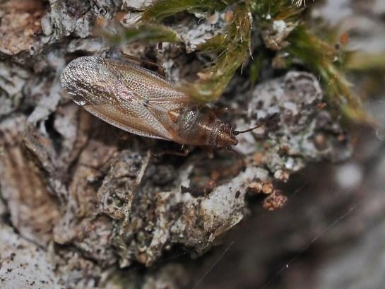 c.grandicolor