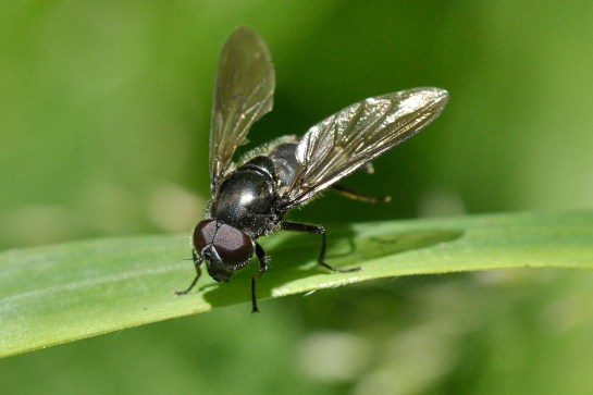 c.variabilis