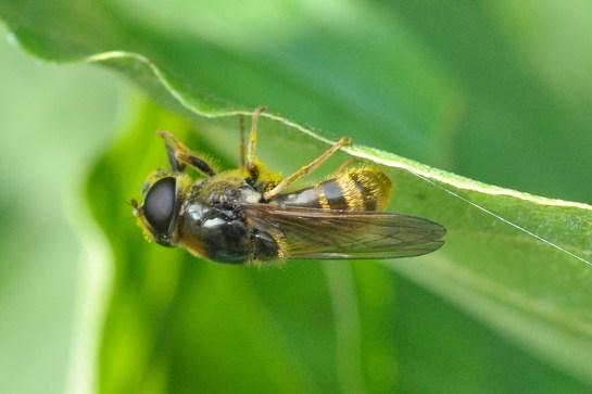 ch.canicularis