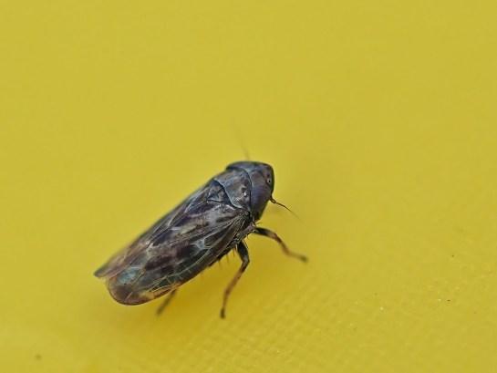 deltoceph.pulicarius