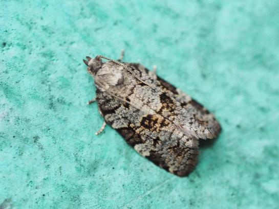 D.histrionana