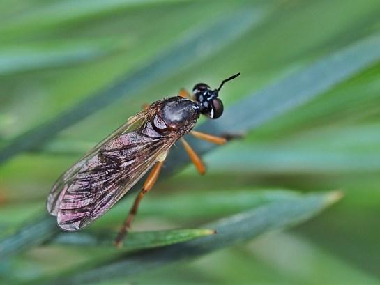 dioc.humeralis