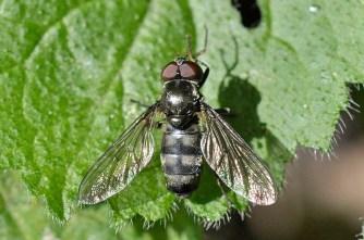 p.maculata