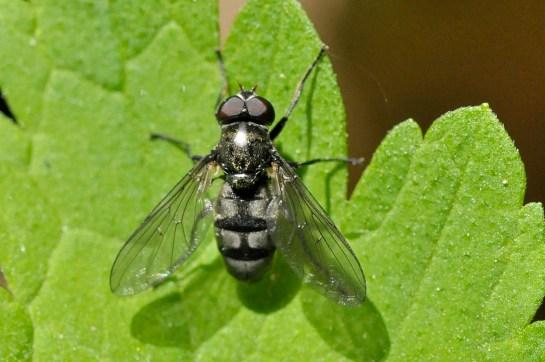 por.maculata