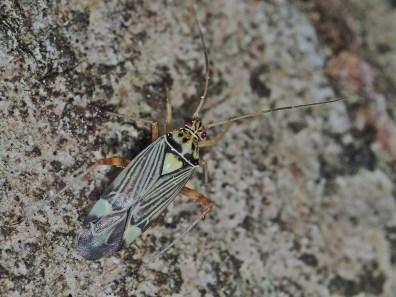 r.striatellus