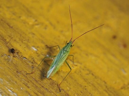 t.caelestialium