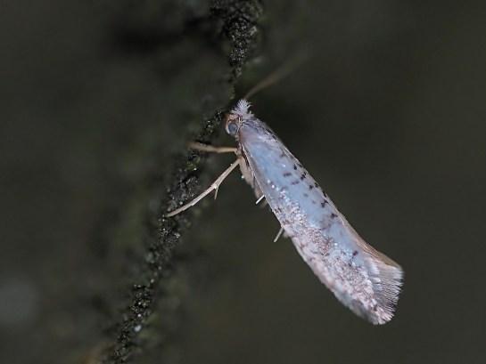 A.retinella