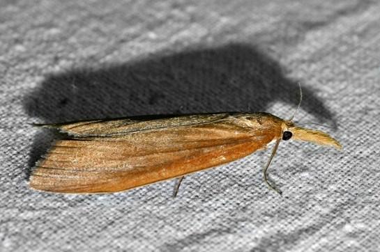 Ch.phragmitella
