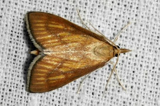 N.cilialis
