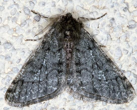 P.pilosaria