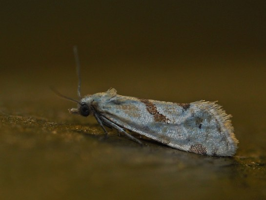 A.smeathmanniana.