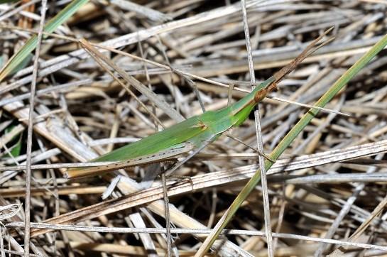 A.ungarica