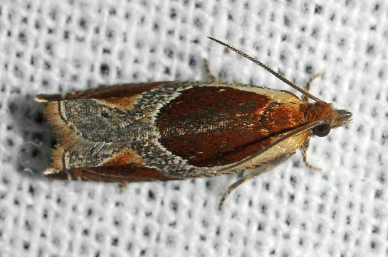 An.unculana