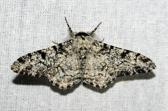 B betularia.