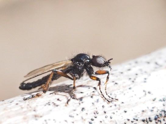 B.femoralis