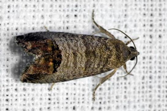 C.splendana