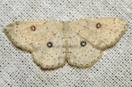 Cyc.albipunctata