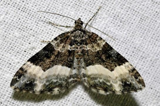 Euph.unangulata