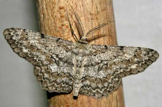 Hyp.punctinalis