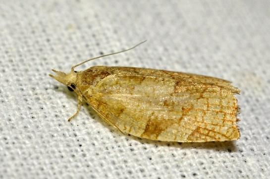 P.corylana.