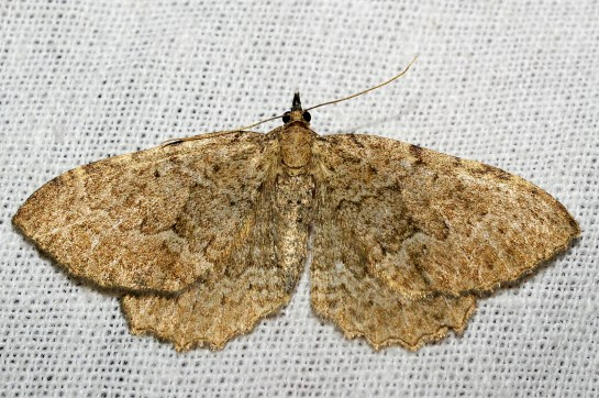 Ph.vetulata