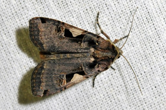 X.c-nigrum