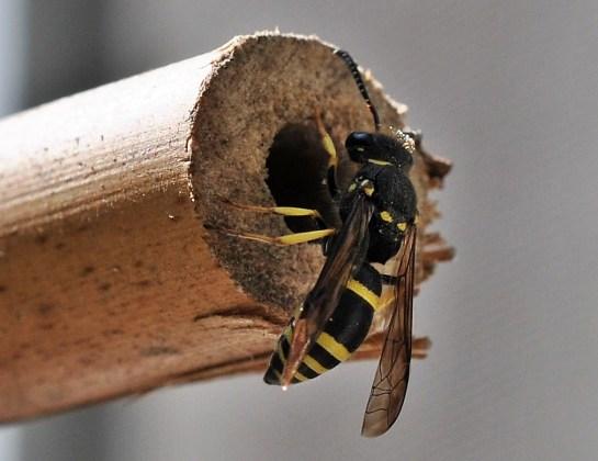 Anc nigricornis