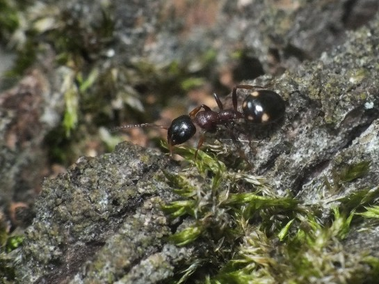 Dolichoderus