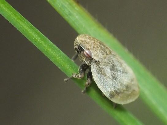 L.coleoptrata