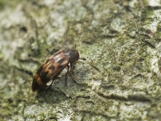 O.undulata