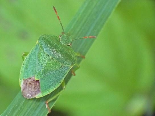 P viridissima
