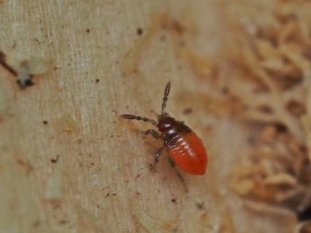 P.apterus nymph 1st instar