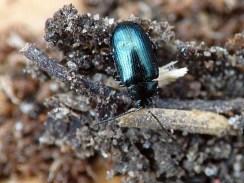 P.laticollis