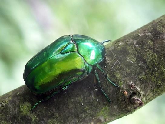 P.speciosissima