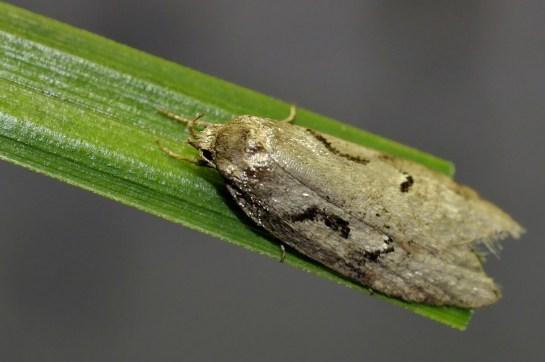 S.steinkellneriana