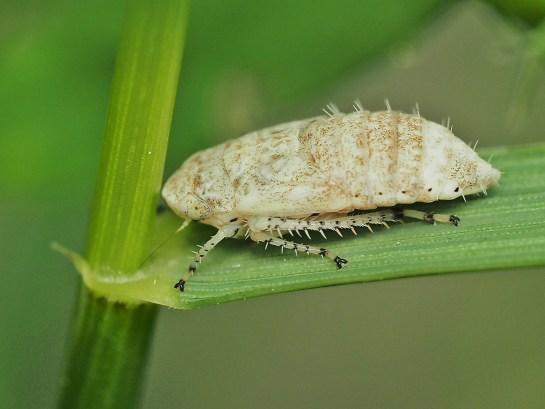 Athysanus nymph