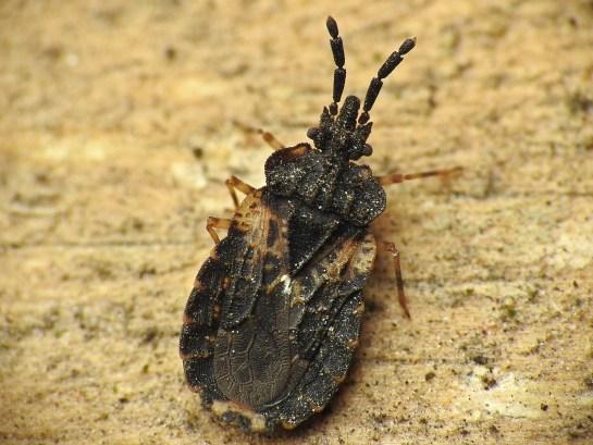 A.truncatus