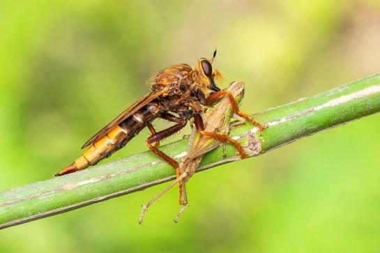 A.crabroniformis