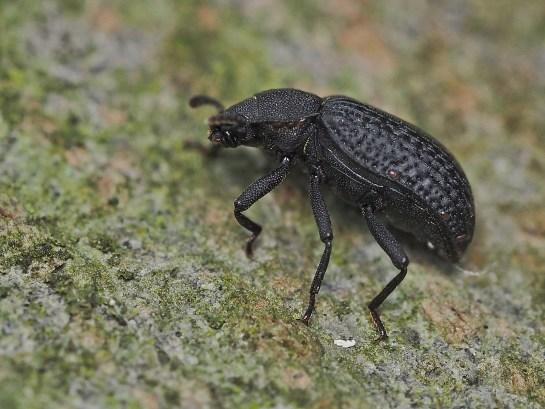 B.reticulatus