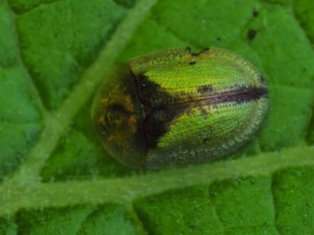 C.vibex