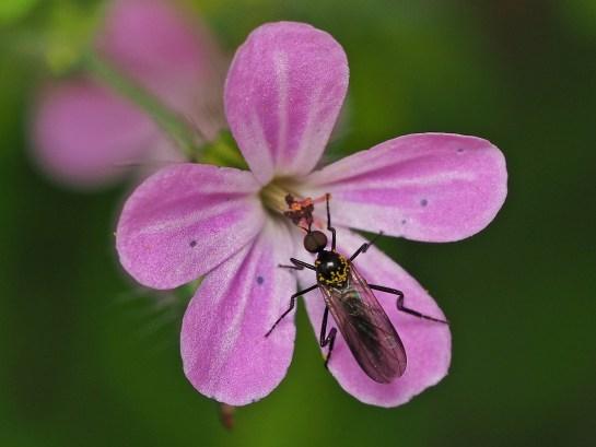 E.pennipes male