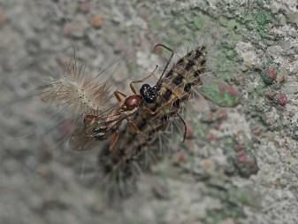 Eridolius species