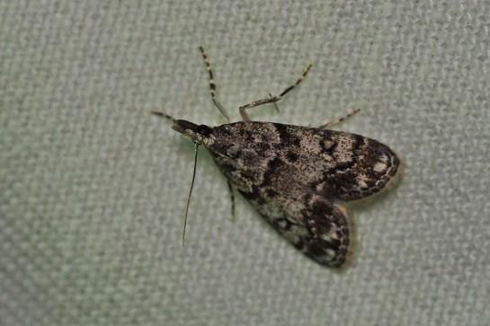 E.lacustrata