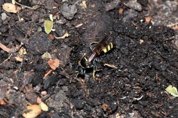G laticinctus