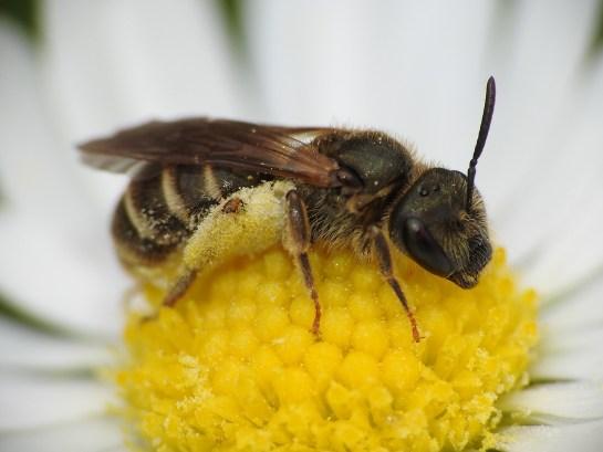 H.tumulorum