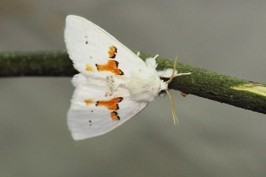 Leucodonta